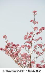 Pink trumpet tree on summer, Sakura Flower style thailand with blur too soft