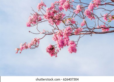 pink trumpet tree or Tabebuia rosea; fresh pink flowers and green leaves on branches of the pink trumpet tree under the blue sky on a sunny day