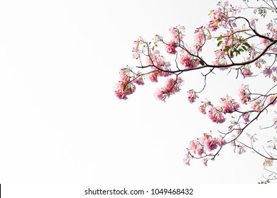 фотообои Pink Trumpet Trees, Pink flowers bloom in spring or summer with copy space