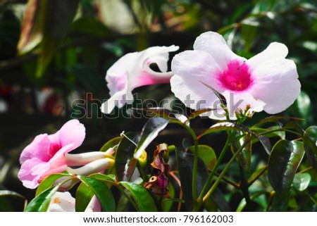 Pink trumpet vine flower thunbergia grandiflora stock photo edit pink trumpet vine flower thunbergia grandiflora mightylinksfo