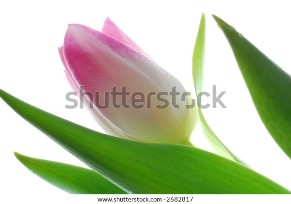 pink tulip against white background