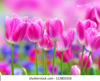 pink tulip with bokeh