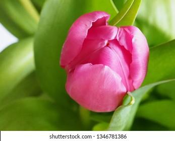 Pink tulip close up.