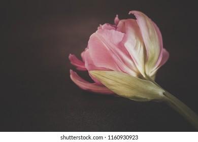 Pink Tulip with dark moody feel