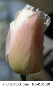 Pink tulip with dew