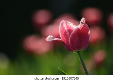 Pink tulip in a field with backlighting and visible depth of field. Soft focus, bokeh and sunlight
