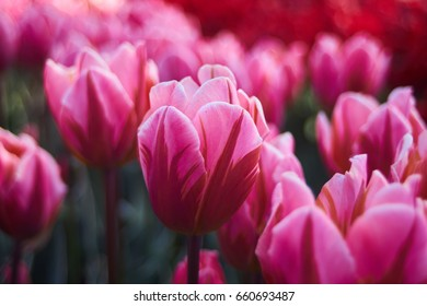 Pink tulip field with one in the foreground