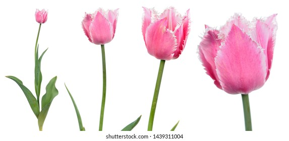 Pink tulip flower close-up isolated on white background. Cultivar from Fringed Group