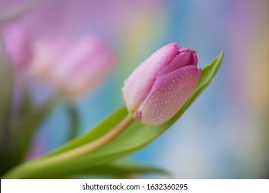 Pink tulip flower in pastel background