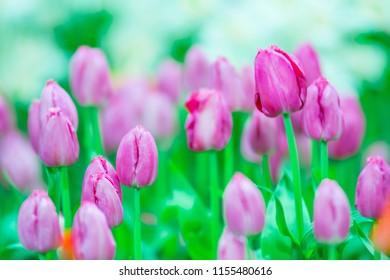 Pink tulip flower soft selective focus in the garden blur background