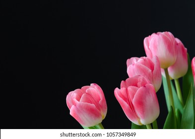 Pink tulip flowers closeup with a black background