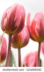 Pink tulip flowers close-up using shallow focus in soft lighting. Soft and gentle spring tulip flowers natural background. Watercolor pink tulips on flowerbed.