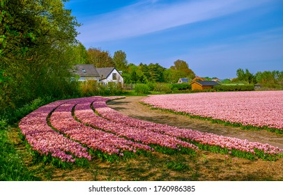 Pink tulip flowers farm field landscape. Tulip flowers farm scene. Pink tulips flowers in tulip farm