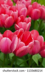 Pink tulip flowers in garden close up vertical