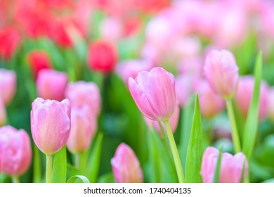 Pink tulip flowers in garden. Spring nature background.