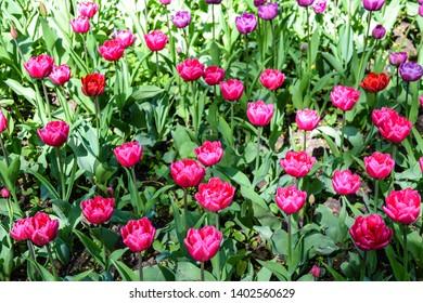 Pink tulip flowers spring blooming. Spring blooming pink tulip flowers in spring tulip festival in Saint-Petersburg, Russia. Spring bloom tulips