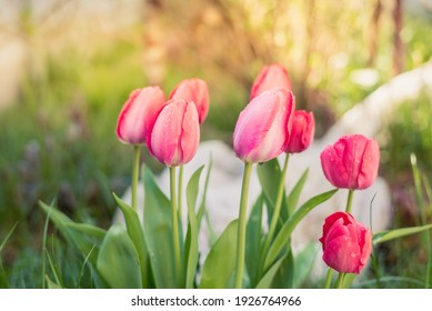 Pink tulip flowers in a summer garden. Spring flowers.