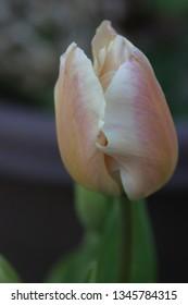Pink tulip in the garden