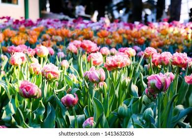 Pink Tulip Green Grass Garden