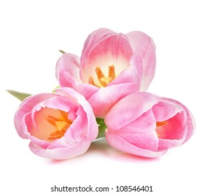 Pink tulip isolated on white background