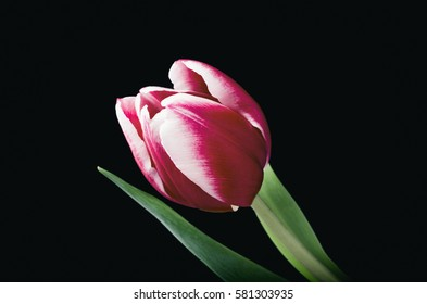 Pink Tulip on a Black Background