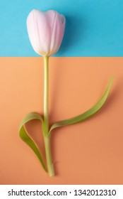 Pink Tulip on blue and orange background. Flat lay.