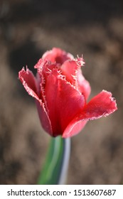 Pink tulip on brown background with backlighting and visible depth of field. Soft focus, bokeh and sunlight