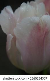 Pink tulip in the rain