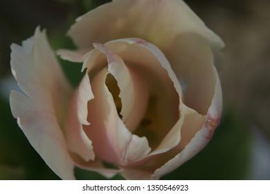 Pink tulip in spring
