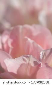 Pink Tulip in Tight Focus