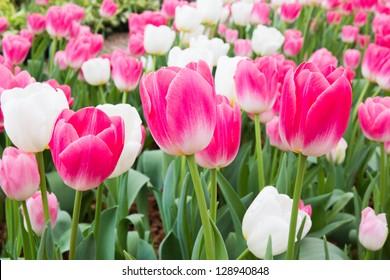 pink tulip with white tulip