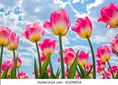 Pink tulips against blue sky with white clouds