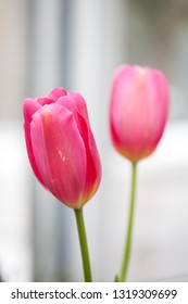 Pink tulips against a light coloured background.