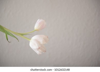 Pink tulips against a pale wall.