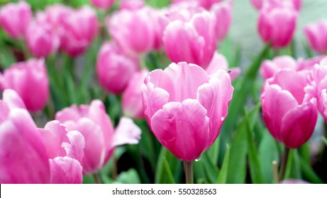 Pink tulips. Beautiful bouquet of tulips. colorful tulips. tulips in spring,colorful tulip.