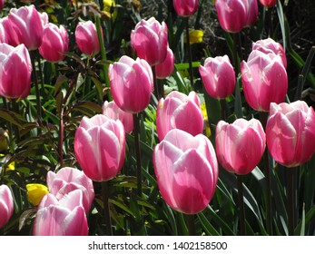 Pink tulips blooming in spring 2019