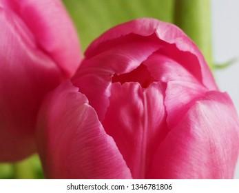 Pink tulips close up. Macro photography.