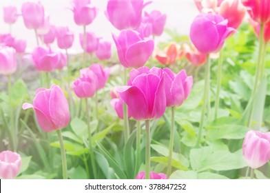 pink tulips closeup, local soft focus, shallow DOF, soft light toned