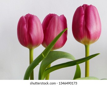 Pink tulips for Easter.