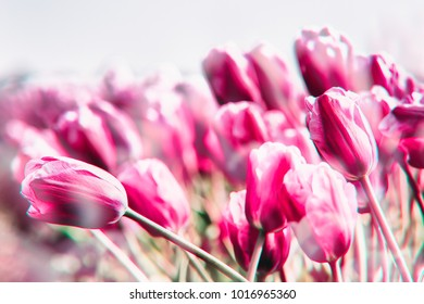 Pink tulips field in the Netherlands. image processing with glitches and chromatic aberrations
