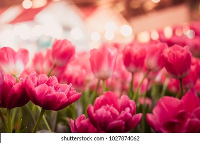 Pink tulips field with the sunlight. Famous beautiful flower bloom in spring day. Natural pink tulips in selective focus with bokeh light blurred background .