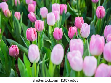 pink tulips flower nature background.