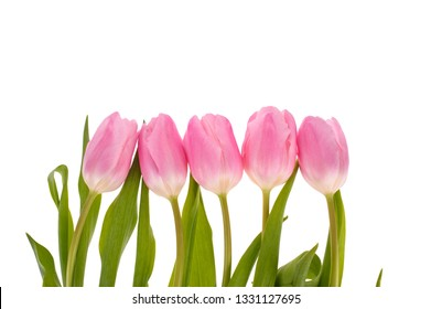 Pink tulips flowers isolated on white background.