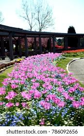 Pink tulips in full bloom (Vertical)