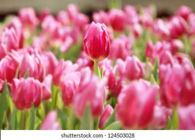 pink tulips in the garden