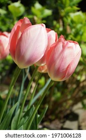Pink tulips in a garden