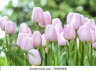 pink tulips in the garden.