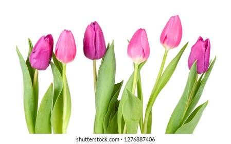 Pink tulips isolated against white background