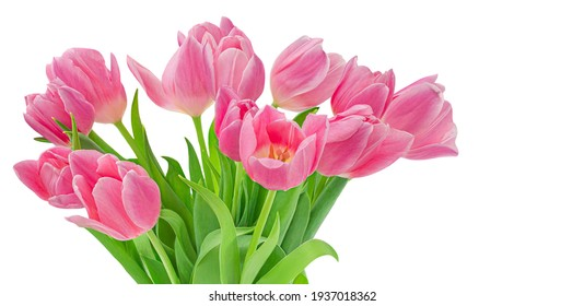 Pink tulips isolated on white background. Spring tulip  flowers. Easter or Valentine's day greeting card.