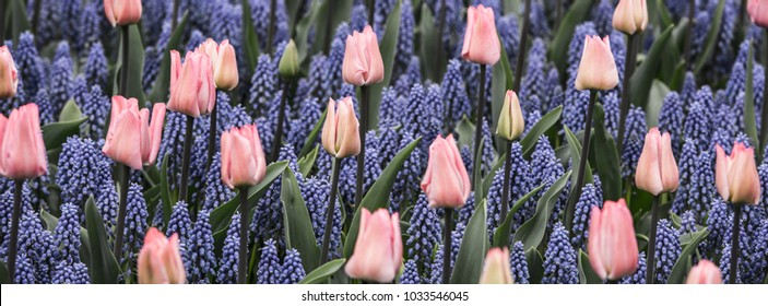 Pink tulips and Muscari hyacinth field in the Netherlands. long wide banner